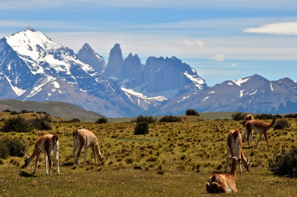 Llama-like guanacos in patagonia