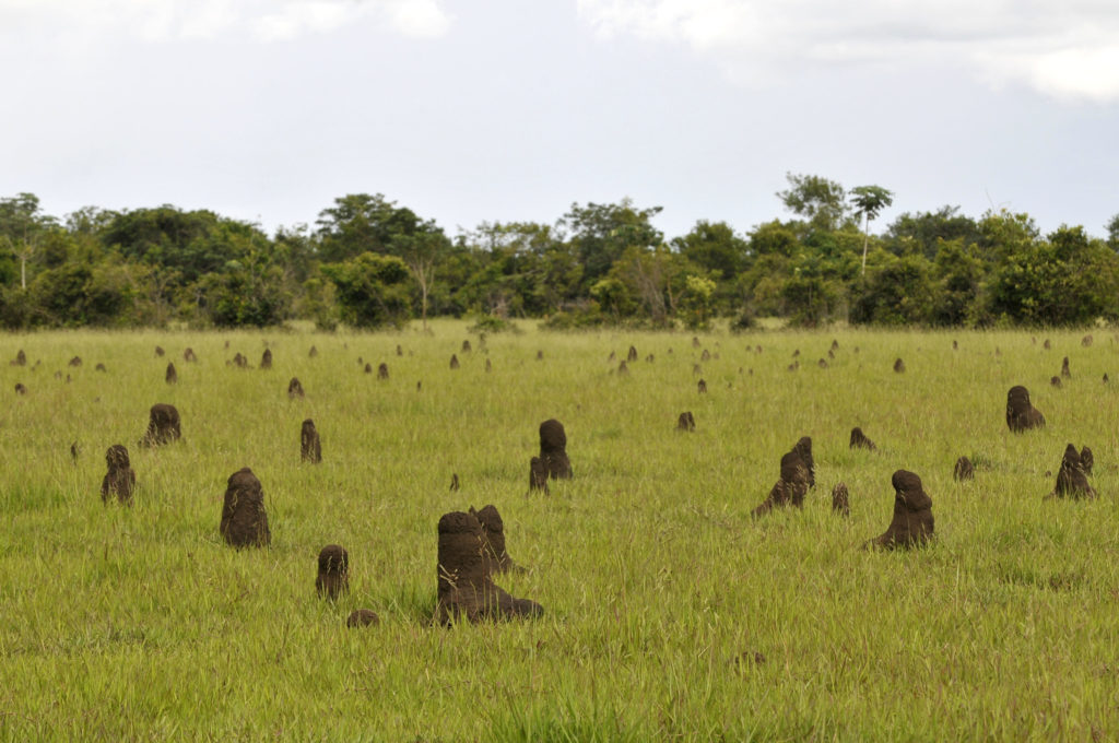 termite mounds in Colombia's llanos