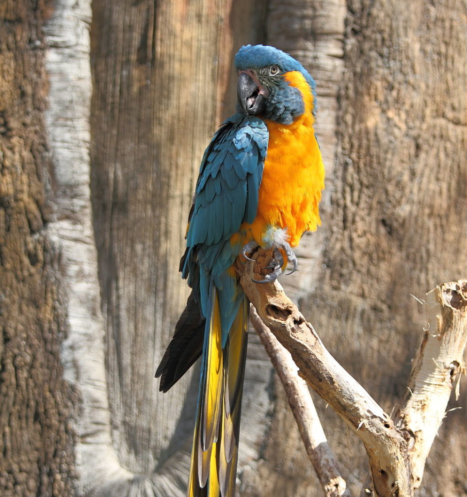 captive Blue-throated Macaw on a branch