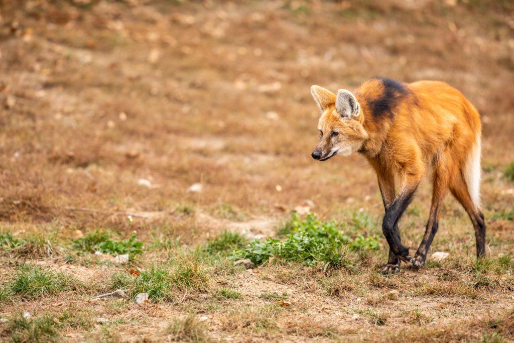 maned wolf walking