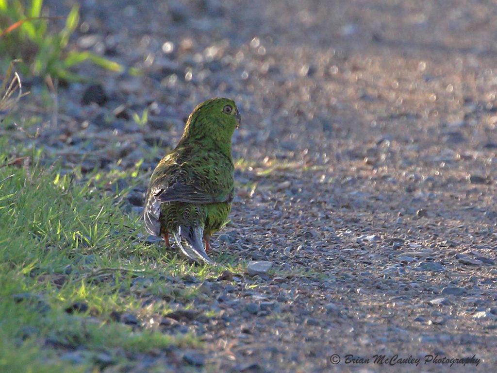 small green parrot on the roadside