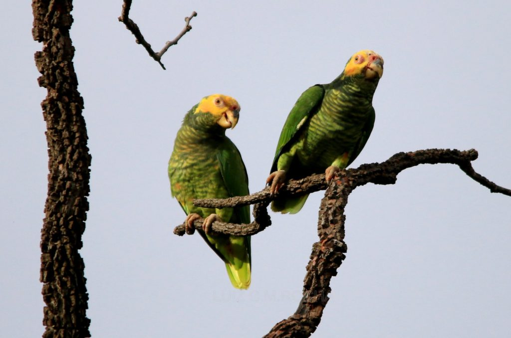 two yellow-faced parrots on branches