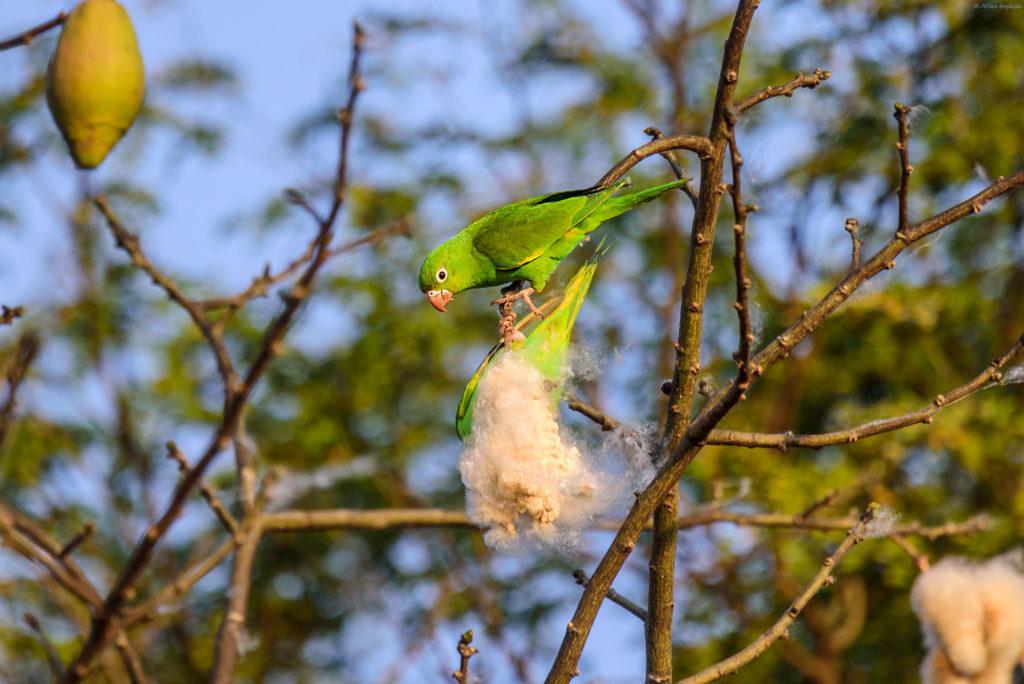 parakeet feeding on fluffy seeds