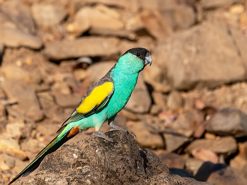 hooded parrot perches on rock