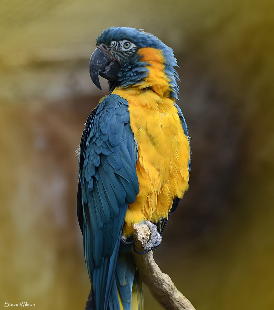 close up of the blue-throated macaw