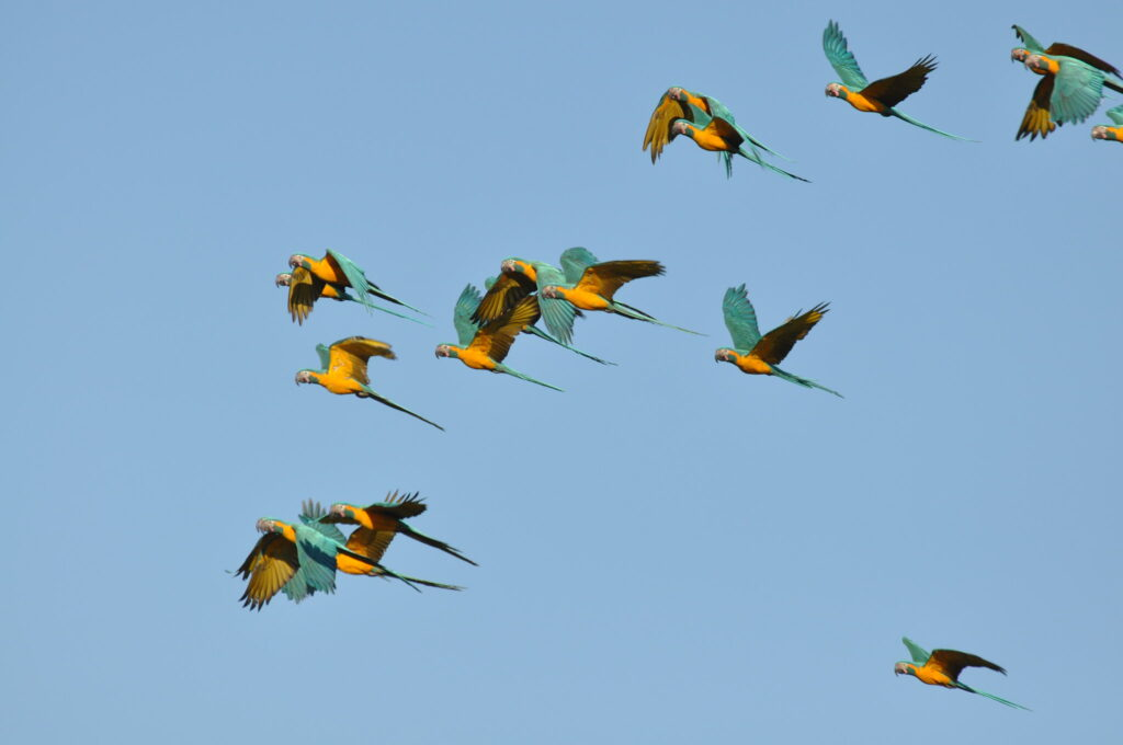 flock of blue-throated macaws