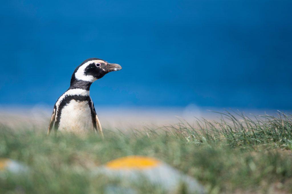 penguin peers over grasses