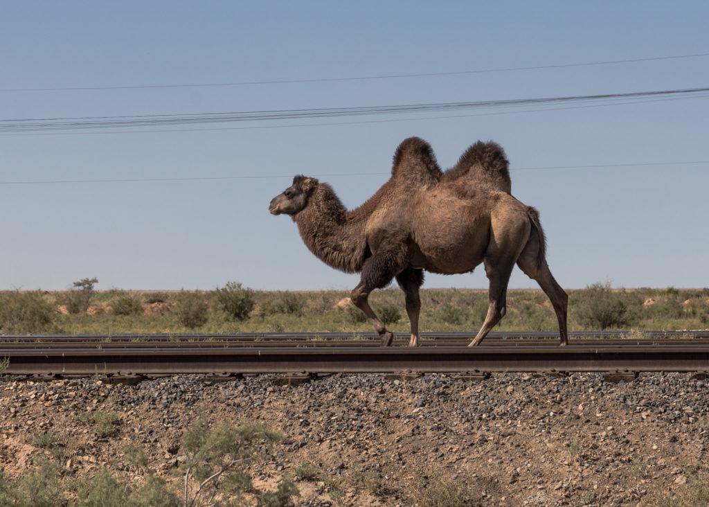 two-humped camel walks along railroad tracks