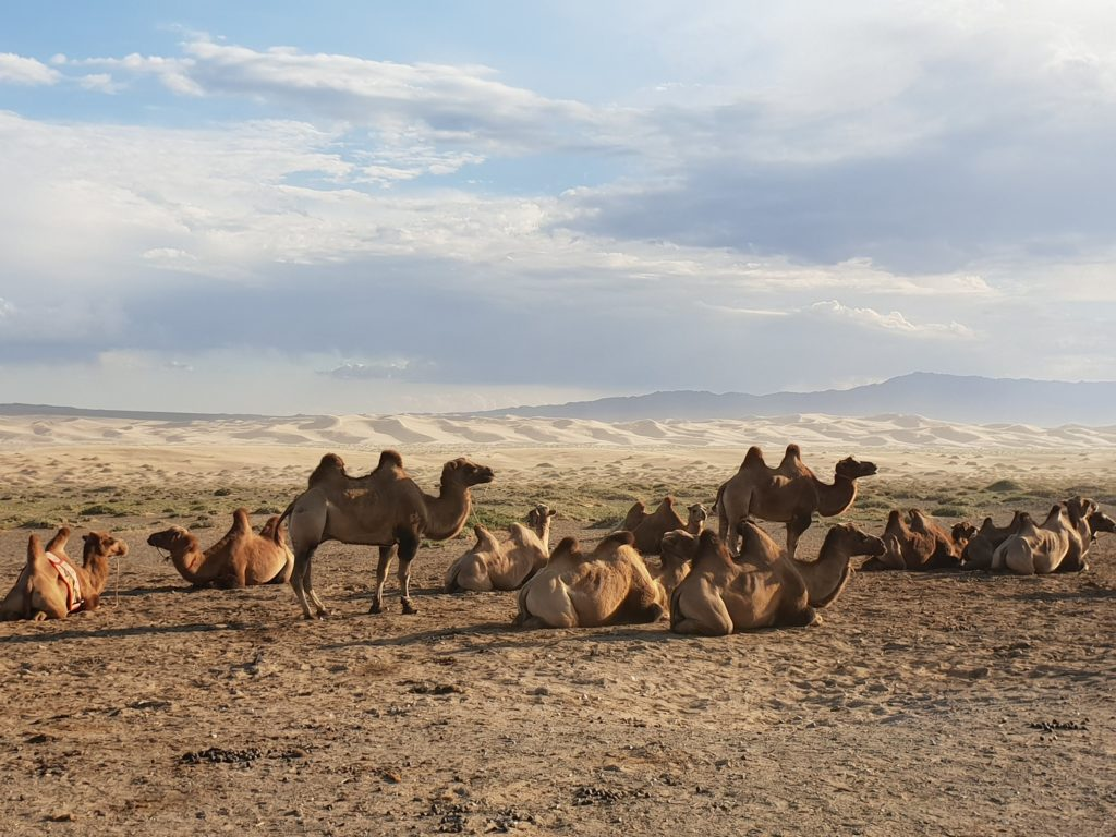A group of two-humped camels with harnesses relax in the Gobi Desert