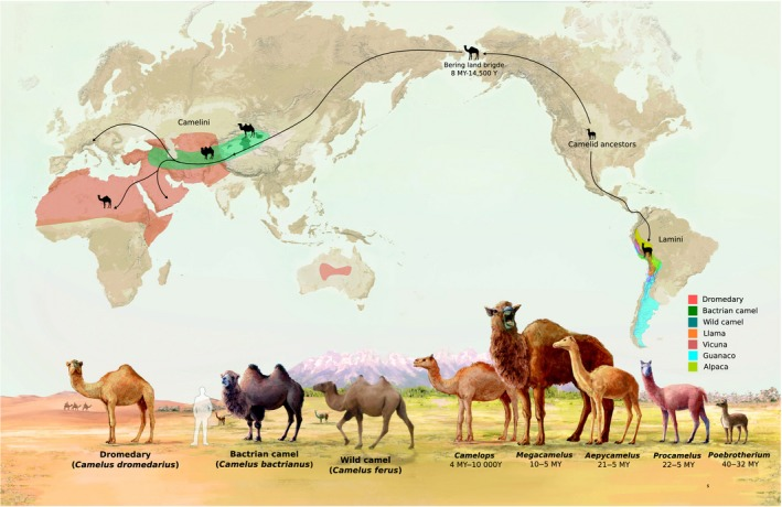 a map showing camels beginning in North America and spreading across Alaska into Asia and Africa, while Llama-like camels spread south into South America
