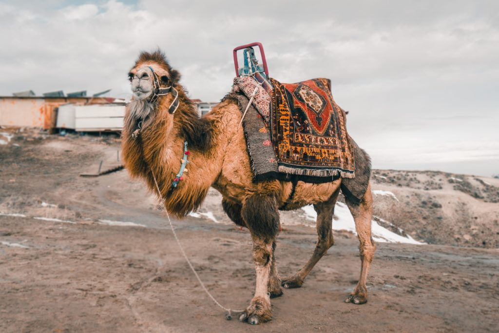 shaggy camel wearing brightly colored harness, blankets, and saddles