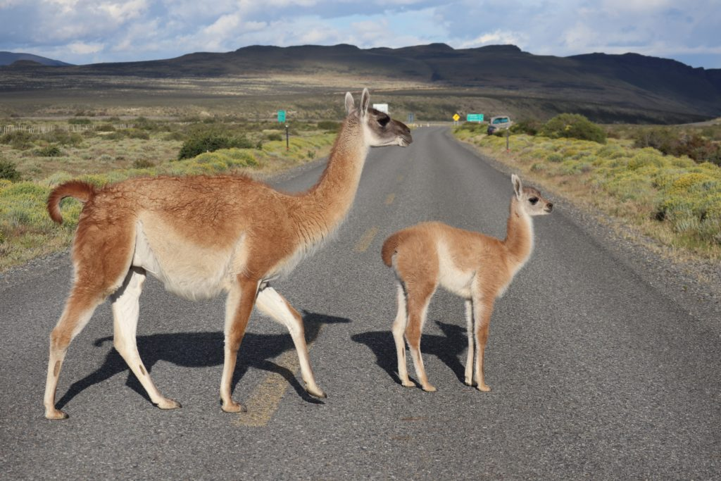 Mother guanaco and her small calf cross the road in green pastures