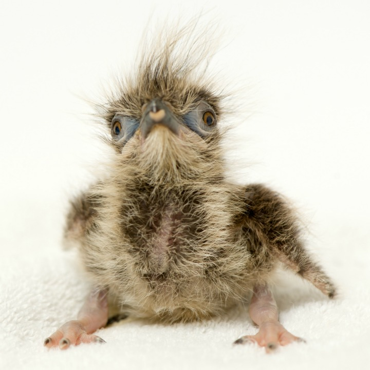 Seriema chick with fluffy feathers sitting down.