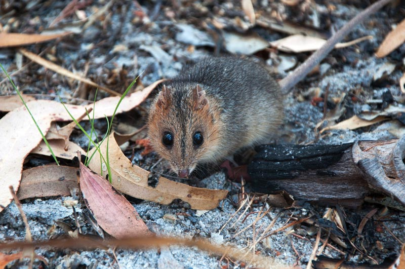 Dunnart looking into camera, large eyes and narrow face prominent.