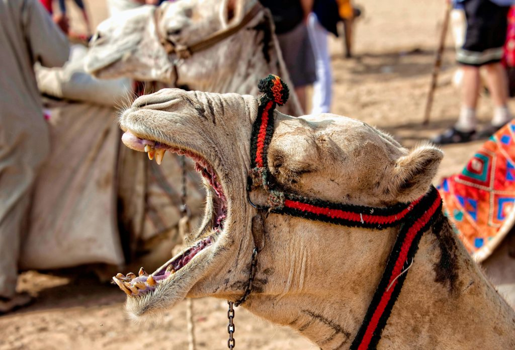 A camel yawns, exposing upper and lower canine teeth