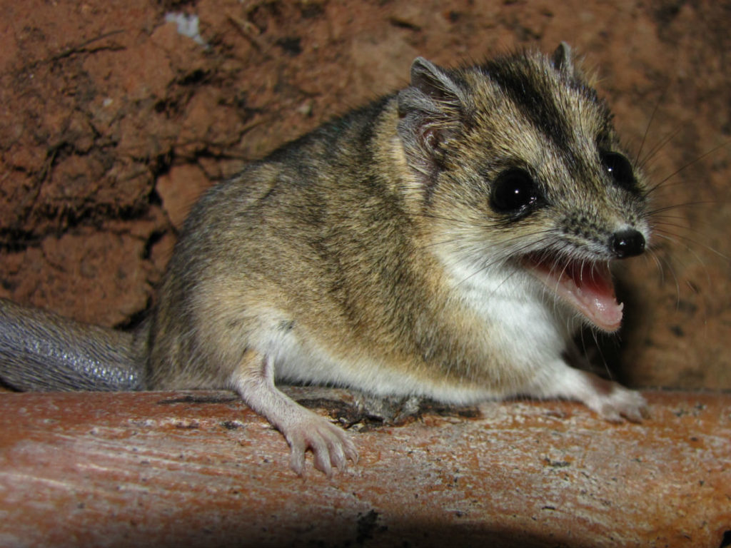 Dunnart with mouth open in a sign of defense, teeth showing.