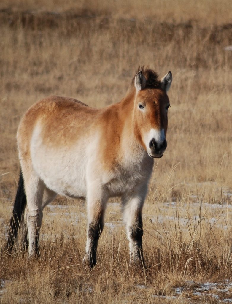 Light brown takhi horse looking into camera.
