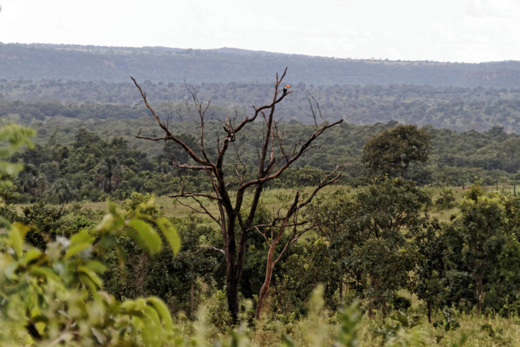 A lone toucan stands atop a dead tree against the backdrop of cerrado savanna