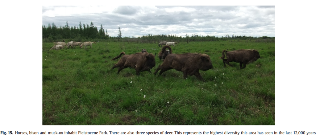 Fig. 15. Horses, bison and musk-ox inhabit Pleistocene Park. There are also three species of deer. This represents the highest diversity this area has seen in the last 12,000 years.