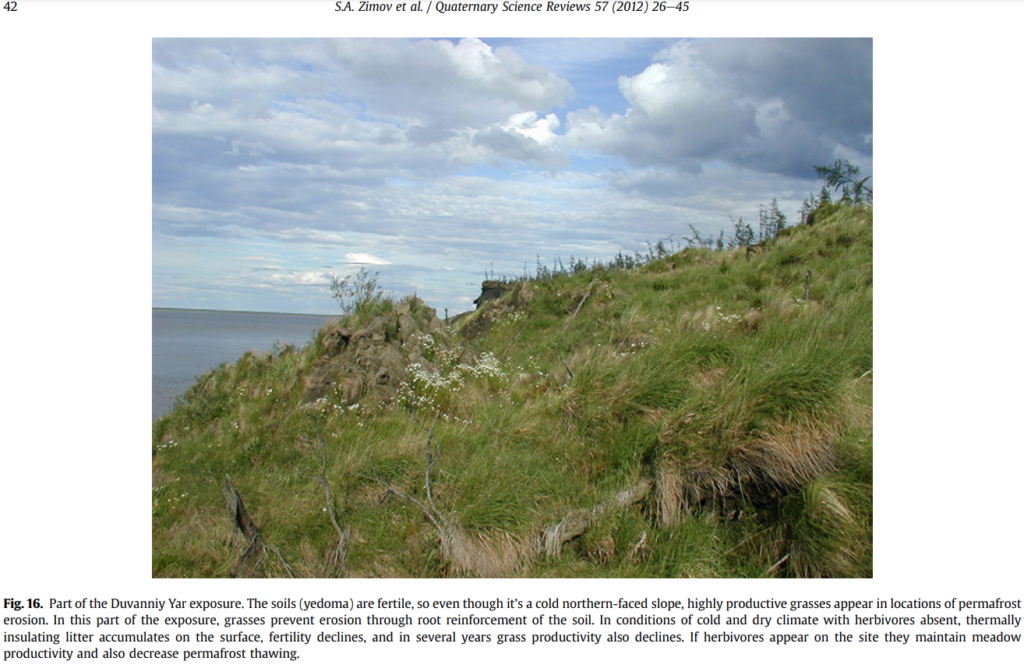 Fig. 16. Part of the Duvanniy Yar exposure. The soils (yedoma) are fertile, so even though it's a cold northern-faced slope, highly productive grasses appear in locations of permafrost erosion. In this part of the exposure, grasses prevent erosion through root reinforcement of the soil. In conditions of cold and dry climate with herbivores absent, thermally insulating litter accumulates on the surface, fertility declines, and in several years grass productivity also declines. If herbivores appear on the site they maintain meadow productivity and also decrease permafrost thawing.