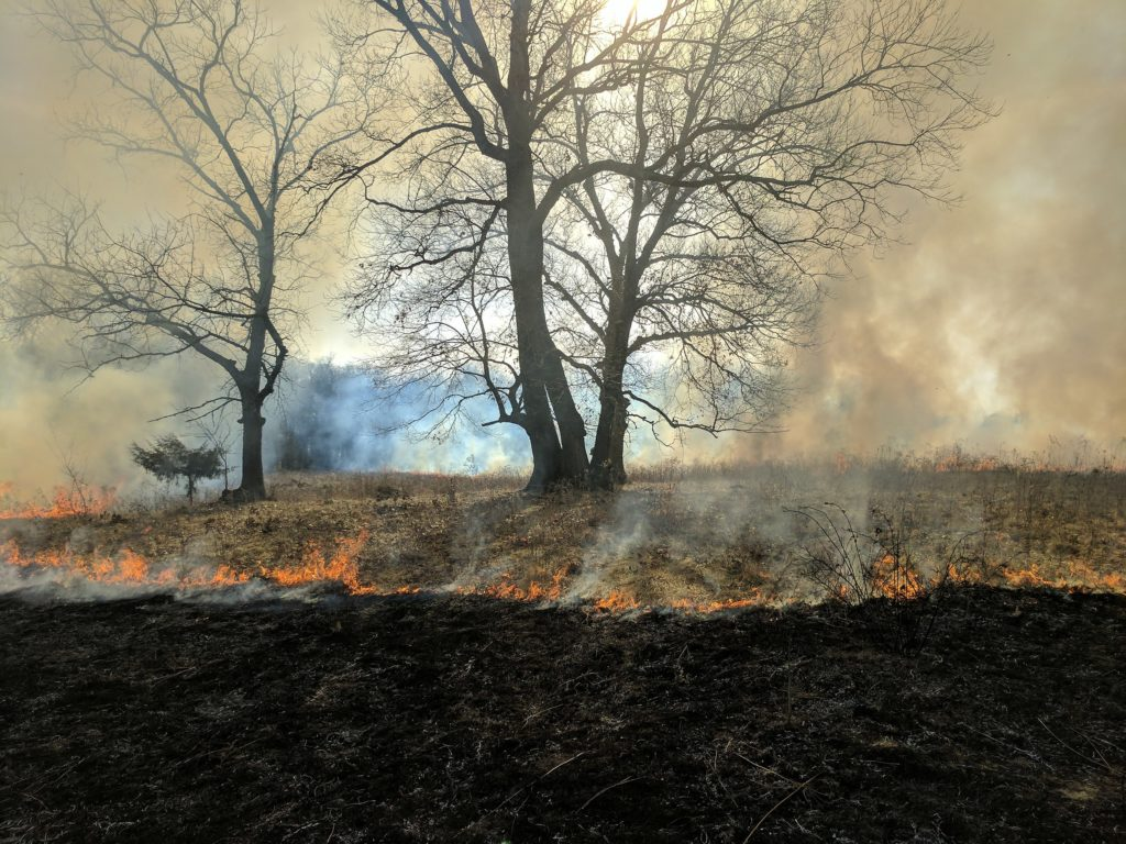 A pair of bur oaks surrounded by a prairie fire sweeping closer