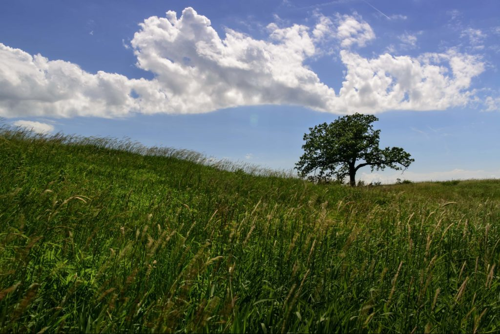 Large, round bur oak tree standing alone in the grass