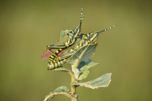 Indian Painted Grasshoppers mating on plant.