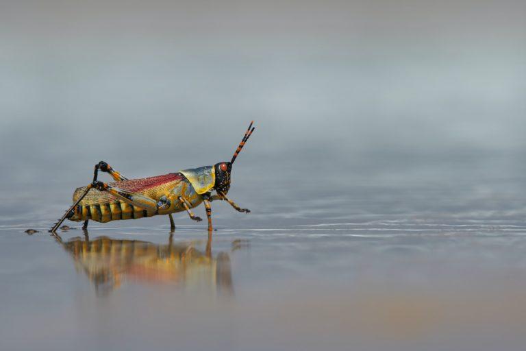 Grasshopper stepping through water.
