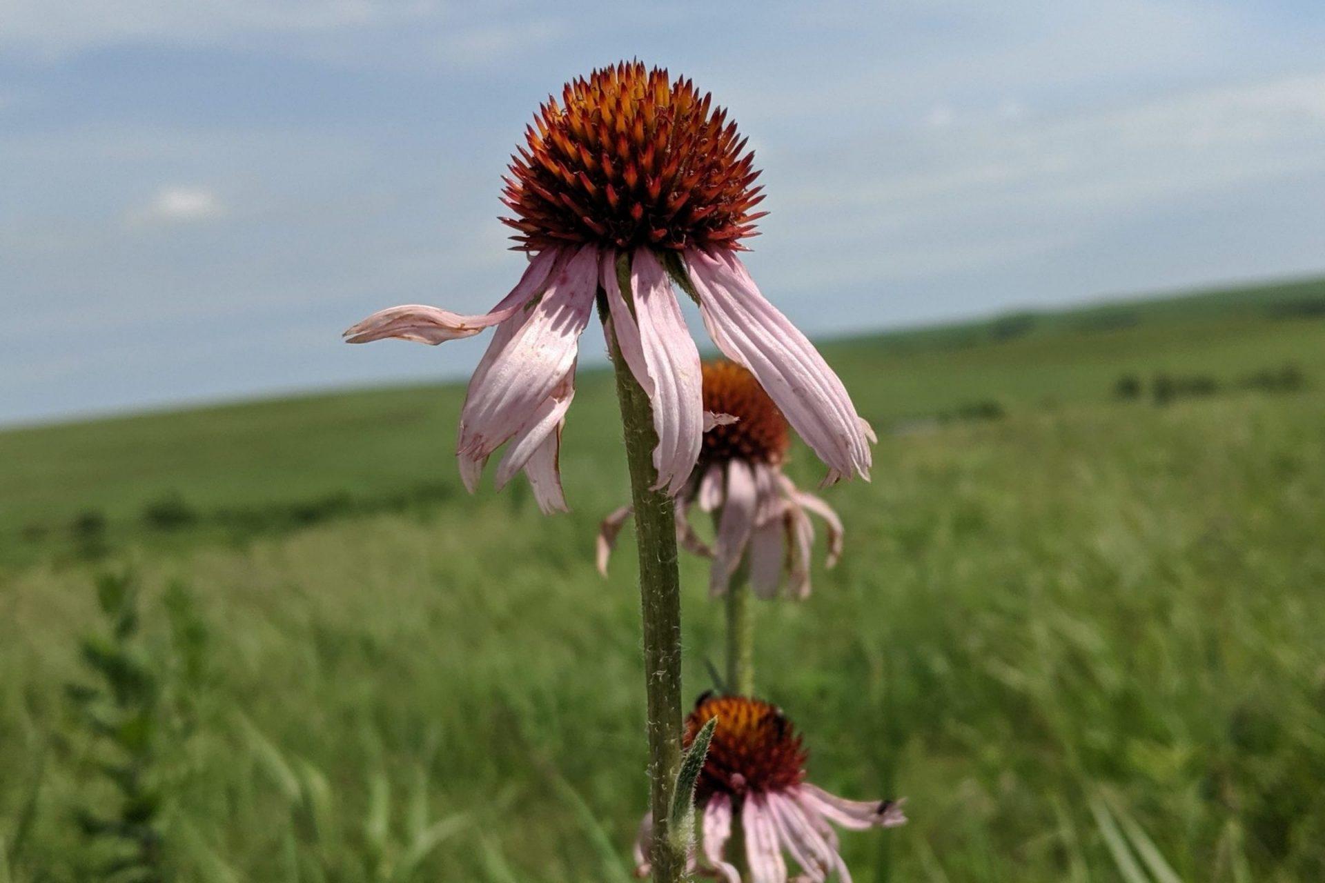 prairie coneflower on tallgrass prairie national preserve