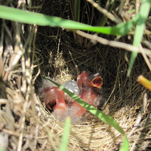 tiny blind and pink baby birds in a grassy nest with one unhatched egg and little tufts of fluff
