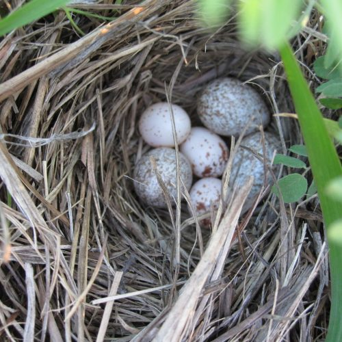 a bird nest woven with grass with six eggs inside, 3 of them are bigger with more speckles