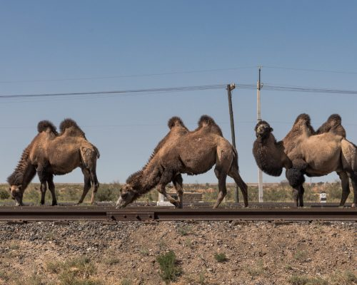three two-humped camels browsing on a railroad track