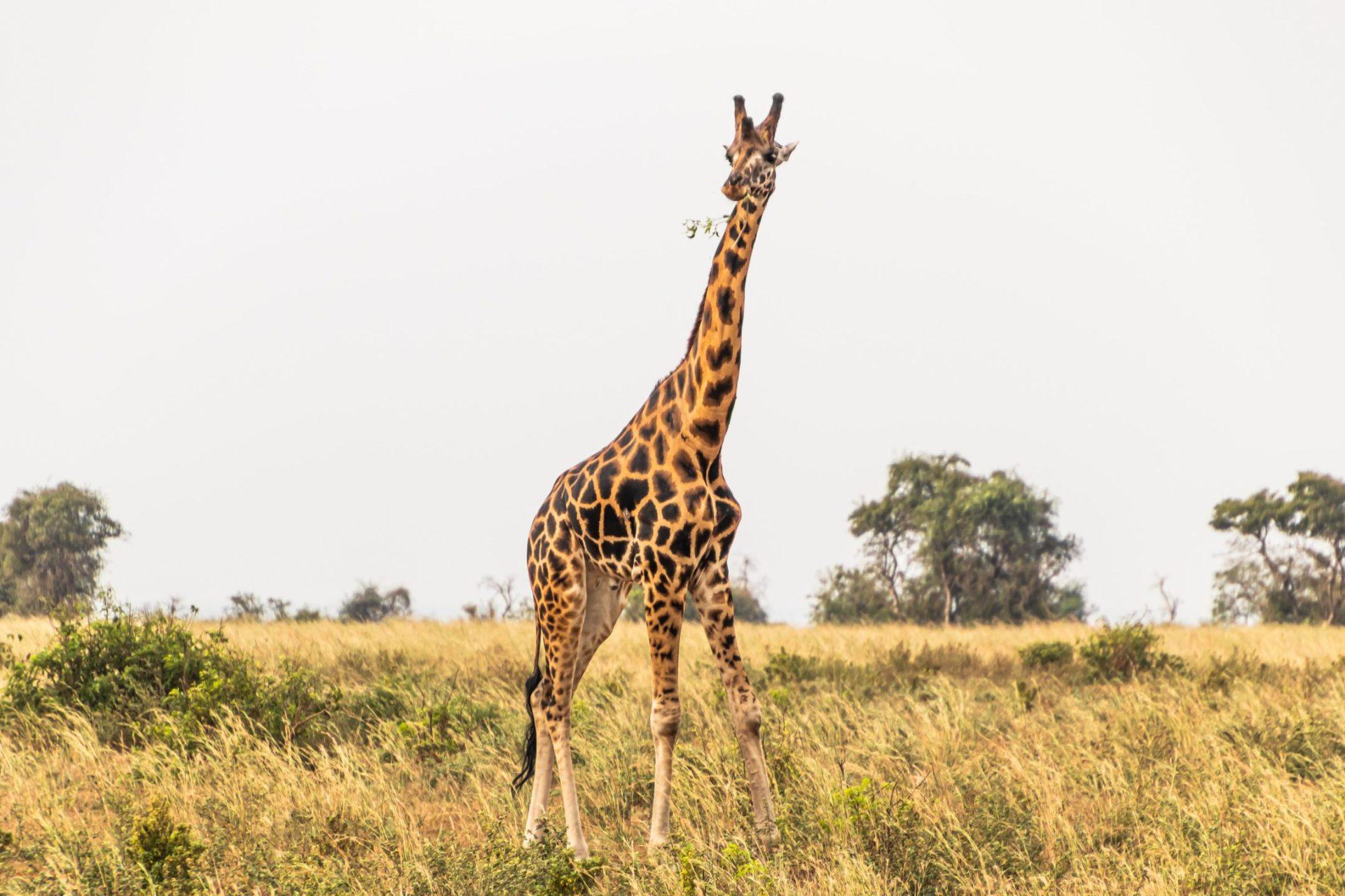 giraffe in a uganda savanna