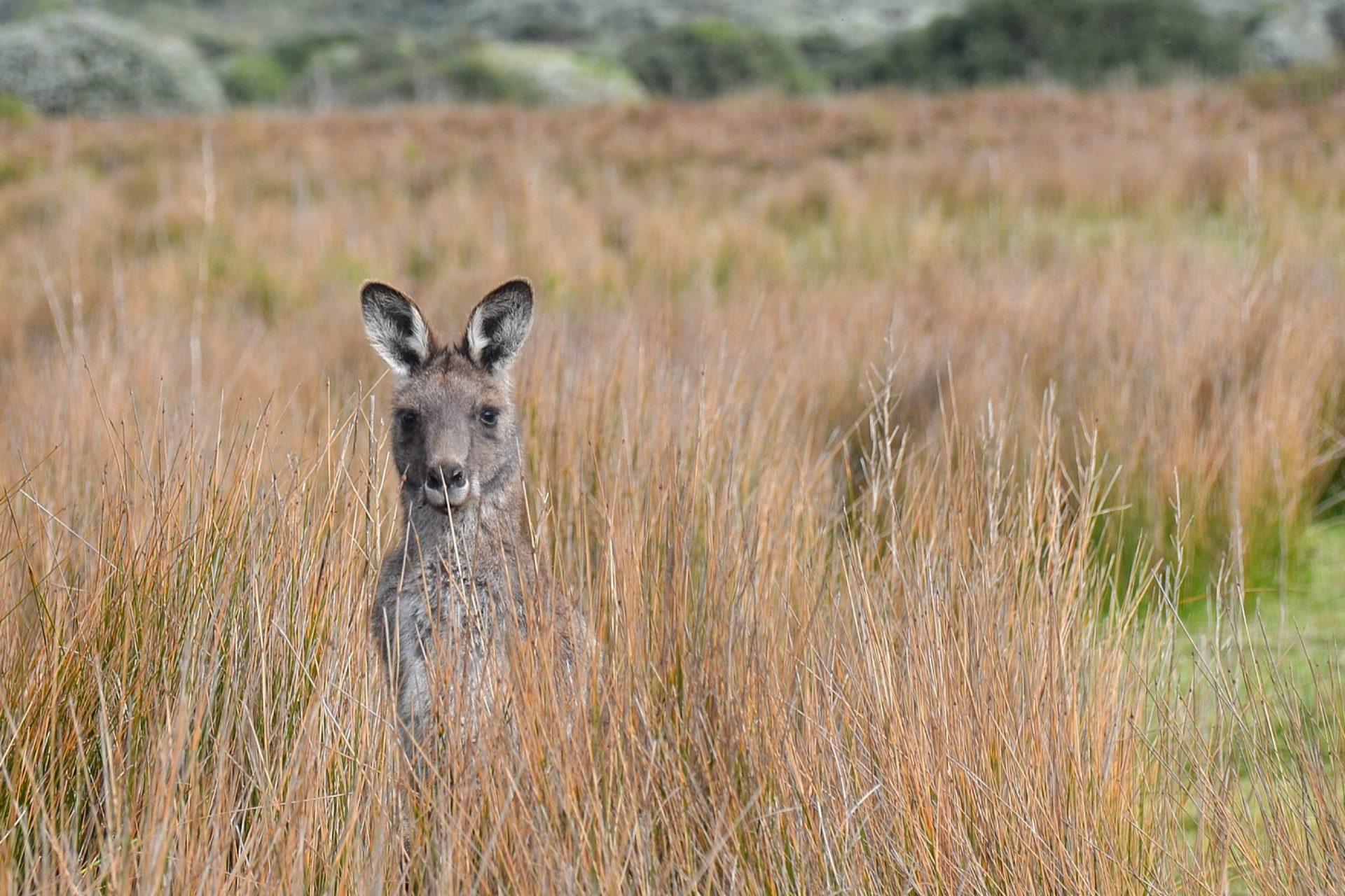 kangaroo in an australian savanna